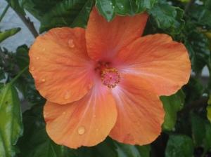 Hibiscus from my garden